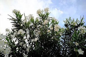 White oleander and cloudy sky