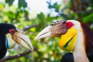 Bar-pouched wreathed hornbills