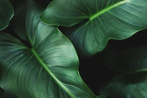 Large green tropical leaves