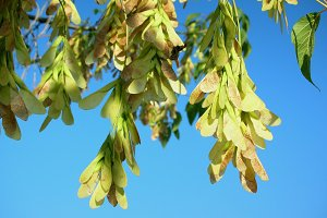 Closeup of maple seeds on a branch against the blue sky