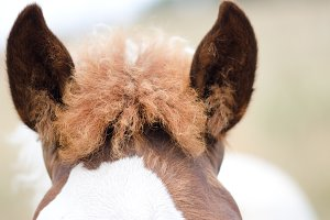 Ears of horse.