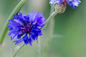 Blue flower, close-up.