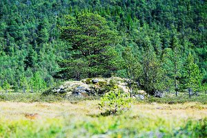 Norway tree on rock stone background