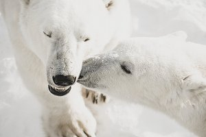 Polar bear kissing another