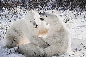 Two polar bears sparring