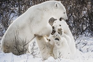 Polar bear jumping onto another