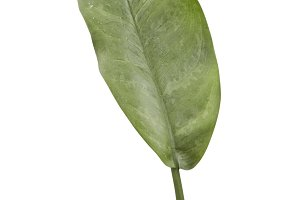 Tropical green leaf leaves Background