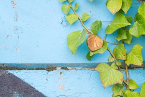 ivy on old wall with graffiti