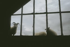 Sheep looking through Window