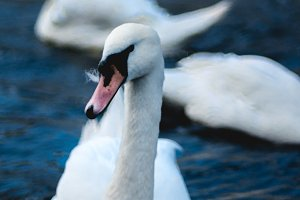Close up of swan in Alster lake near the Town Hall. Hamburg City, Germany