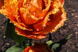 Fringed tulip called Sensual Touch