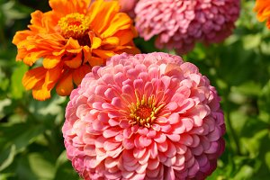 Zinnia flowers closeup in garden