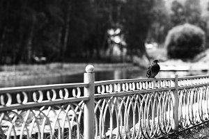 Diagonal black and white dove on fence bokeh background