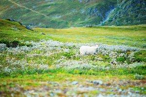 Norway mountain sheep background
