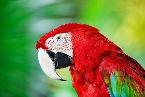 Amazon red macaw parrot