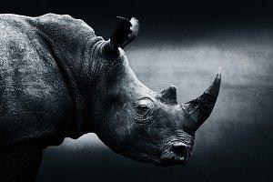 Monochrome rhino, fine art