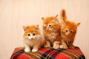 Three cute red kittens sits on plaid
