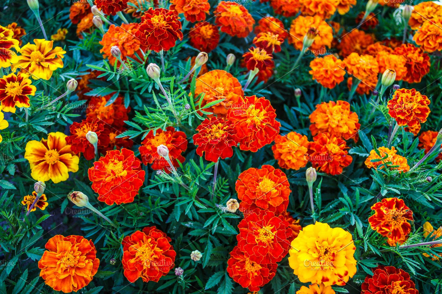 8446a272a Beautiful flowers of calendula, marigolds in the garden. ~ Nature ...