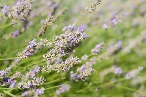 Lavender flowers closeup