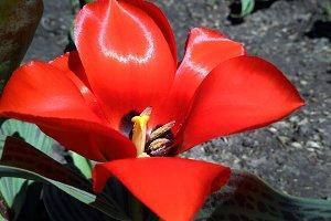 Bright red full blown tulip