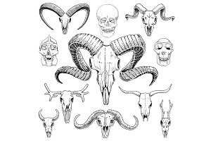 anatomy illustration. engraved hand drawn in old sketch and vintage style. skull set or skeleton. Bull and mountain goat or buffalo. Animals with horns. ram or sheep. Elk and roe deer or bison.