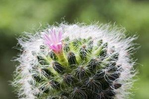 Mammillaria bocasana cactus flower