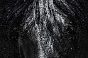 Spanish purebred horse
