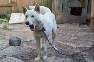 White dog on the chain yawns - yard of farm house in Russian countryside