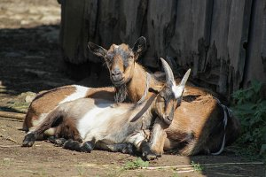 Two goats have rest in yard of farm - russian village