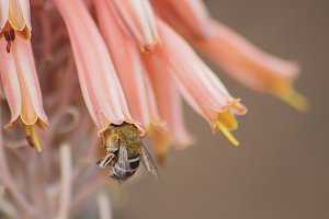 Little Bee in an Aloe Flower