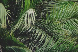 Dense Palm Leaves