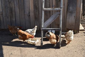 Country farm - chickens in yard - agricultural concept
