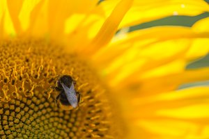 Bee ing on a sunflower