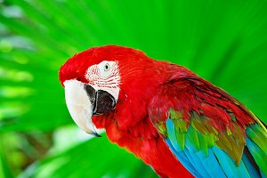 Colorful scarlet macaw parrot