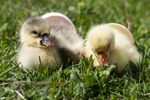 two little domestic gosling with broken egg in green grass