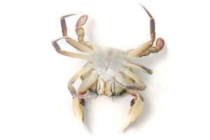 Live crab lying on the back isolated on a white background
