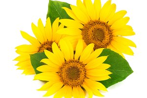 Three sunflowers with leaves isolated on white background