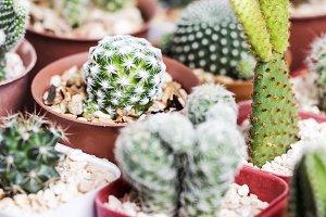 Mammillaria humboldtii cactus in pot