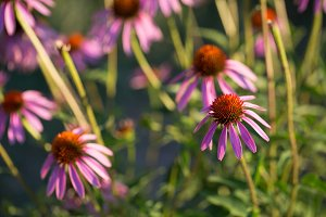 Some flowers of Echinacea purpurea or Hedgehog coneflower