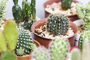 Lobivia cactus in pot