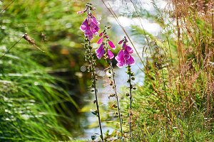 red purpurea in front of a creek with sunrays