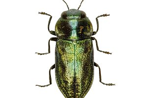 Jewel Beetle Anthaxia