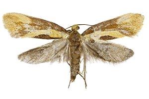 Concealer Moth Harpella