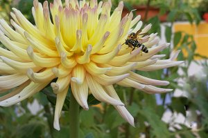 Dahlia and wasps
