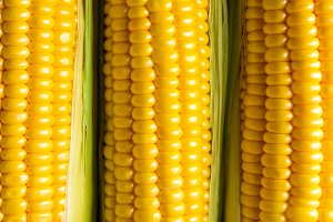 Three corn ears. Vegetable concept background