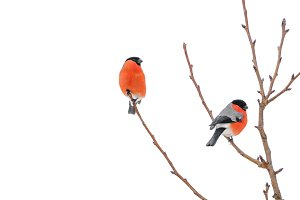 Two bullfinches sitting on branch isolated on white background