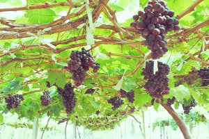 Red grape at the vine to make wine