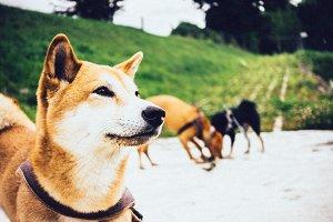 Shiba Inu Dog Outside