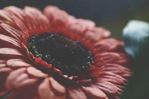 Sunflower in darkness