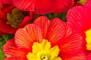 Red flowering primrose